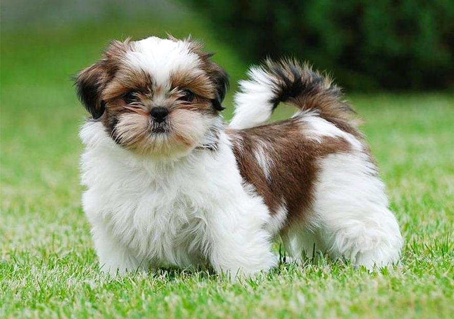 Shih Tzu Puppies For In Dubai
